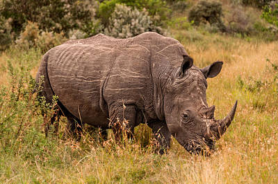 Photograph - The Only Remaining Male Northern White Rhino by Mitchell R Grosky