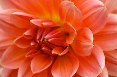 The Opening Of A Dahlia Art Print by Sonja Anderson
