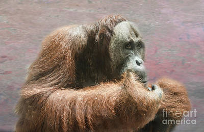 Photograph - The Orang-utang by Michelle Meenawong