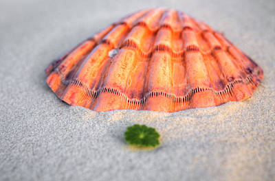 Photograph - The Orange Scallop by JC Findley