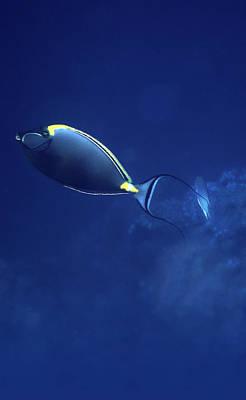 The Orangespine Unicornfish And The Deep Blue Sea Art Print