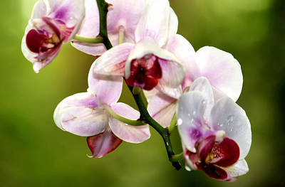 Pretty Orchid Photograph - The Orchid by Karen Scovill