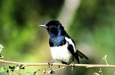 Digital Art - The Oriental Magpie Robin by Manjot Singh Sachdeva