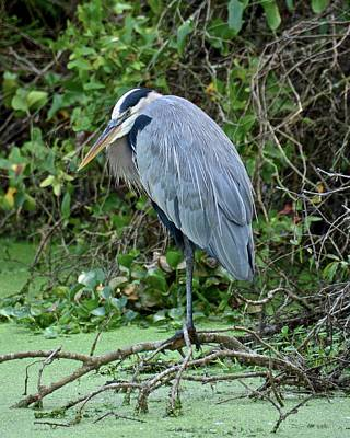 Photograph - The Original Angry Bird by Carol Bradley