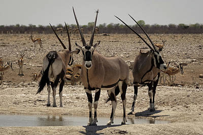 Photograph - The Oryx by Ernie Echols