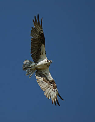 Osprey Photograph - The Osprey by Ernie Echols