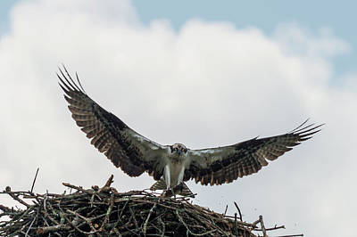 Photograph - The Osprey Food Provider Is Here by Dan Friend