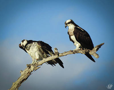 Photograph - The Osprey, No. 11 by Elie Wolf
