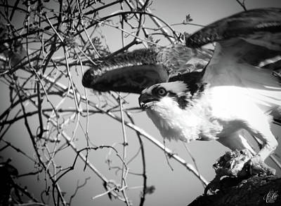 Photograph - The Osprey, No. 12 by Elie Wolf