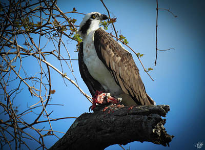 Animals Photos - The Osprey, No. 13 by Elie Wolf