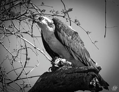 Photograph - The Osprey, No. 16 by Elie Wolf