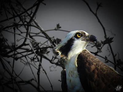 Animals Photos - The Osprey, No. 18 by Elie Wolf