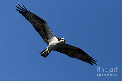 Photograph - The Osprey by Sue Harper