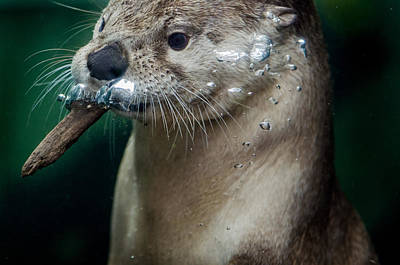 Photograph - The Otter And The Wood Chip by Greg Nyquist