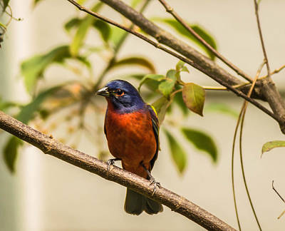 Nature Photograph - The Painted Bunting  by George Kenhan