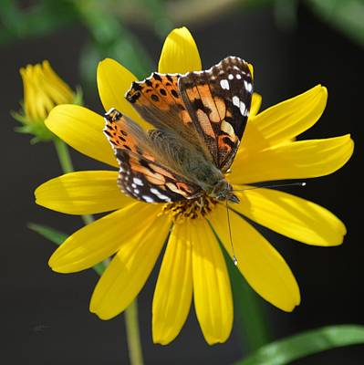 Photograph - The Painted Lady Butterfly by rd Erickson