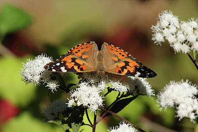 Photograph - The Painted Lady by Debbie Oppermann