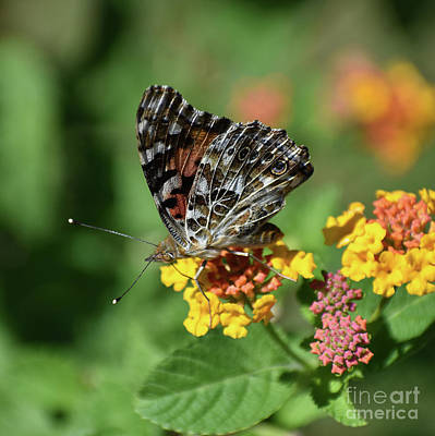 Photograph - The Painted Lady by Skip Willits