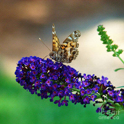 Photograph - The Painted Lady by Sue Melvin