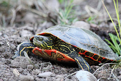 Photograph - The Painted Turtle by Alyce Taylor