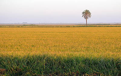 Photograph - The Palm Tree In The Rice Fields by AJ Schibig