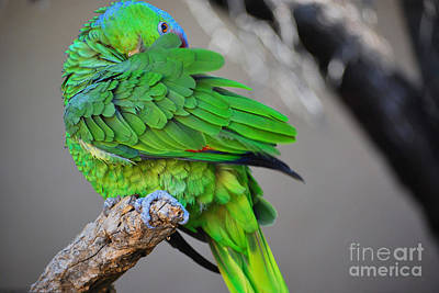 Photograph - The Parrot by Donna Greene