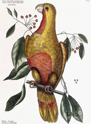 Yellow Beak Drawing - The Parrot Of Paradise, Psitticus Paradisis by Mark Catesby