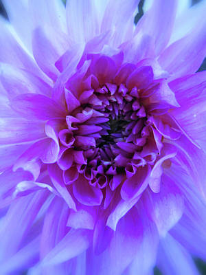 Photograph - The Passionate Dahlia by Lora Fisher
