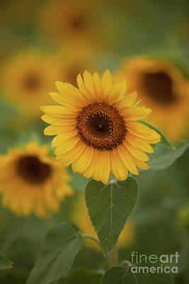 The Patch Of Sunflowers Art Print