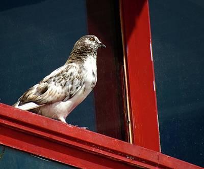 Photograph - The Patriotic Pigeon by Jenny Regan