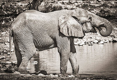 The Pause That Refreshes - Black And White Elephant Photograph Print by Duane Miller