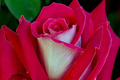 Photograph - The Peace Rose by Michele Avanti