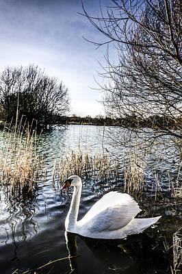 Swan Pair Photograph - The Peaceful Swan by David Pyatt