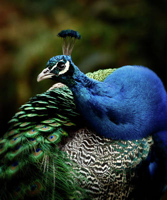 Photograph - The Peacock - 365-320 by Inge Riis McDonald