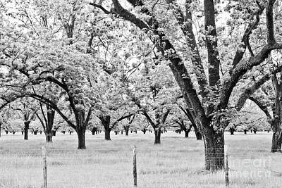 Photograph - The Pecan Orchard - Bw by Scott Pellegrin