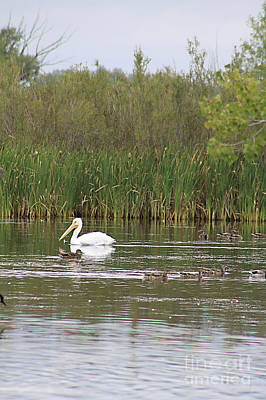 Photograph - The Pelican And The Ducklings by Alyce Taylor