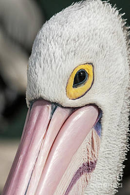The Pelican Look Art Print by Werner Padarin