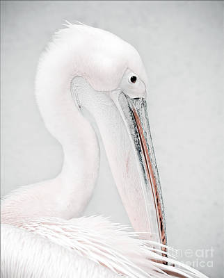 Birds Royalty-Free and Rights-Managed Images - The Pelican by Jacky Gerritsen