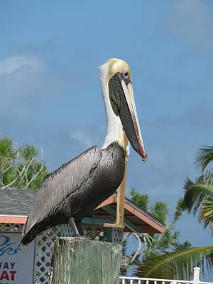 Photograph - The Pelican by Robin Regan