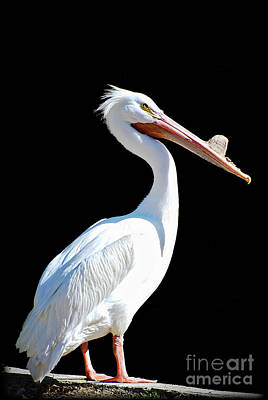 Photograph - The Pelican  by Saija  Lehtonen