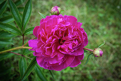 Art Print featuring the photograph The Peonie by Mark Dodd