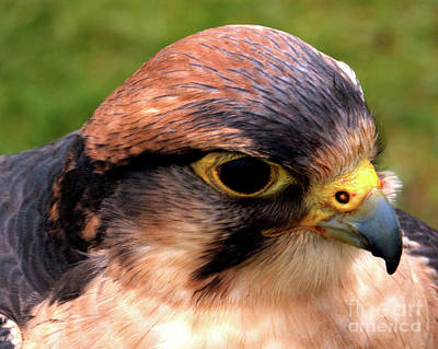 Photograph - The Peregrine by Stephen Melia
