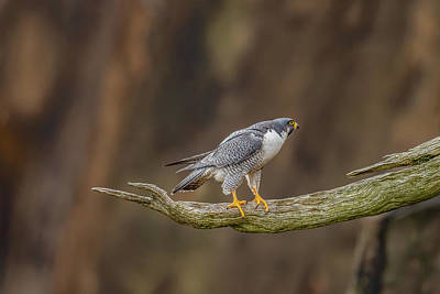 Photograph - The Peregrine Falcon by Francisco Gomez