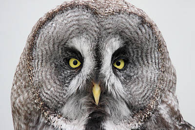Photograph - the piercing look of the Great Grey Owl  by Pierre Leclerc Photography