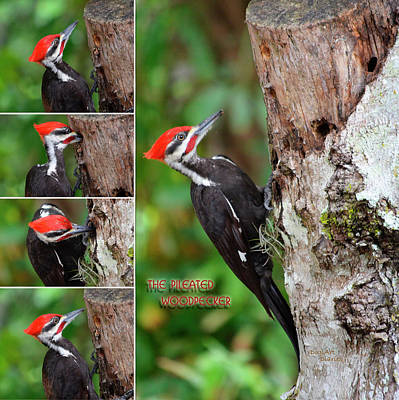 Photograph - The Pileated Woodpecker by DigiArt Diaries by Vicky B Fuller