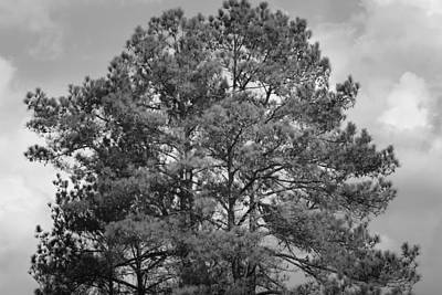 Photograph - The Pines by Maria Urso
