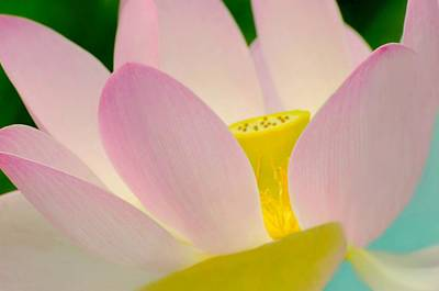Photograph - The Pink Lotus by Diana Angstadt
