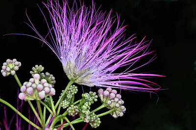 Mimosa Flowers Photograph - The Pink Mimosa Flower by JC Findley