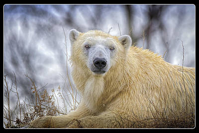 Photograph - The Polar Bear Stare by LeeAnn McLaneGoetz McLaneGoetzStudioLLCcom