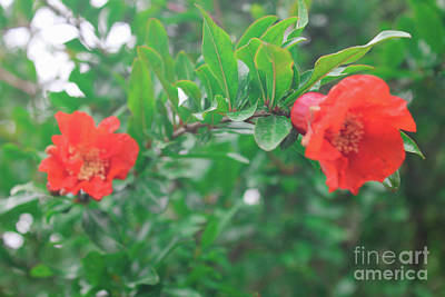 Photograph - The Pomegranate Flower by Donna L Munro